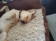 Photo of a past client, Charlie, sleeping happily