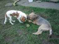 Photo of past clients, Cocoa and Lola, playing ball