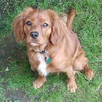 Photo of Toffee, our King Charles Cavalier, welcoming you here!